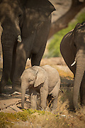 Desert Elephants and calf, Hoanib River, Skeleton Coast, Northern Namibia, Southern Africa