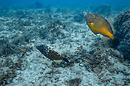 Whitespotted filefish-Poisson-limeà taches blanches (Cantherhines macroceros), Playa del carmen, Yucatan peninsula, Mexico.