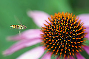 Coneflower Echinacea angustifolia, Compositae and a visiting bee