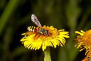 Nomada fucata - kleptoparasite of  Andrena flavipes
