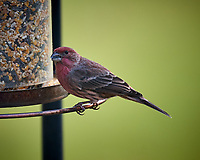 House Finch Image taken with a Nikon D5 camera and 600 mm f/4 VR telephoto lens (ISO 640, 600 mm, f/4, 1/640 sec)