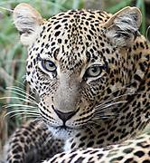 Close-up portrait of a  female leopard (Panthera pardus). Serengeti National Park, Tanzania.