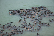PENG'AN, April 29, 2016 <br /> <br /> Hundreds of Cattle swim in the Jialing River<br /> <br />  Cattle swim in the Jialing River in Fanggou Village of Peng'an County, southwest China's Sichuan Province, April 29, 2016. Hundreds of cattle swam across the river every day to eat grass on the Taiyang Island in the river. <br /> ©Exclusivepix Media