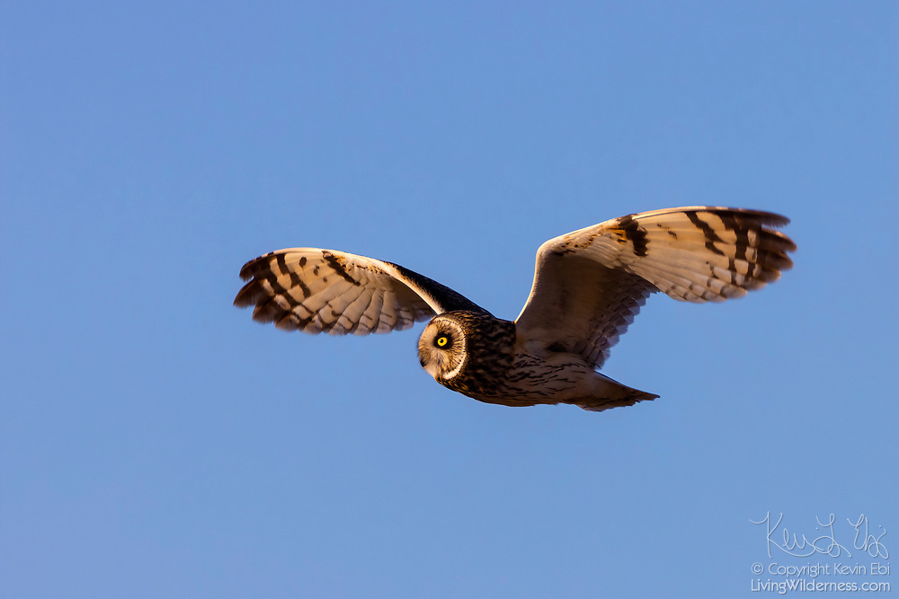 A short-eared owl (Asio flammeus) looks for prey as it flies over a field in the Skagit Valley near Bow, Washington. The short-eared owl is found over much of North America. It hunts over open fields and grasslands, diving to catch small mammals and birds.