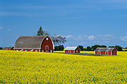canola and red barns<br />near Pilot Mound<br />Manitoba<br />Canada