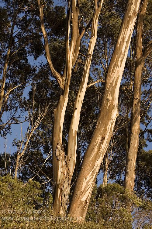 Eucalyptus Trees (Eucalyptus regans), Tasmania