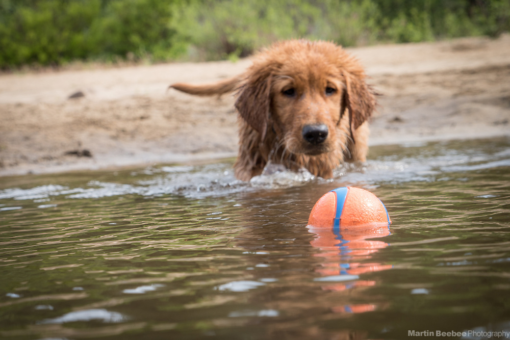 Thirteen week old golden retriever puppy goes after a ball in the river