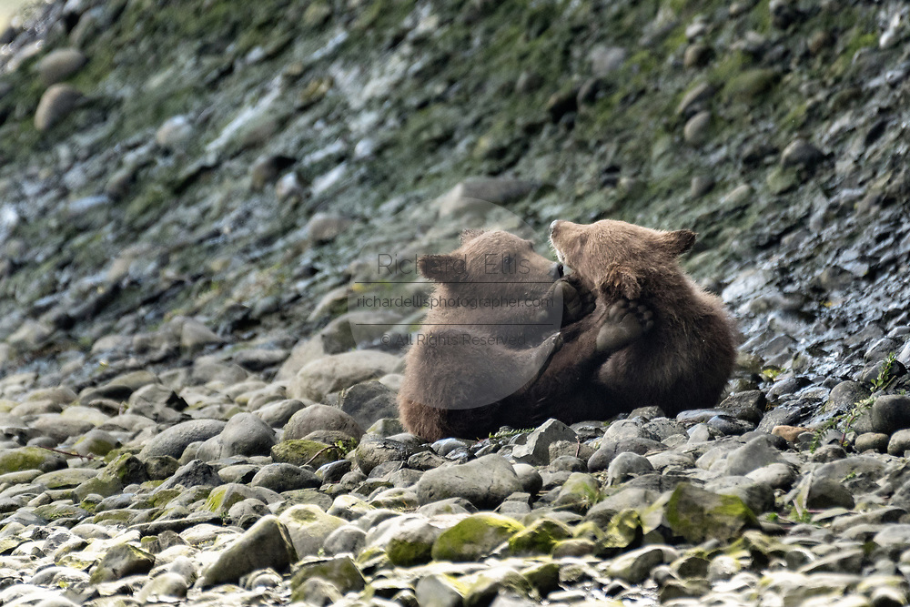 Grizzly bear cubs playing in the lower lagoon at the McNeil River State Game Sanctuary on the Kenai Peninsula, Alaska. The remote site is accessed only with a special permit and is the world's largest seasonal population of brown bears.