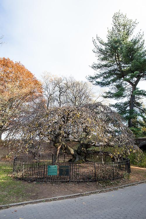The Camperdown Elm, Ulmus glabra 'Camperdownii', planted in Prospect Park in 1872.