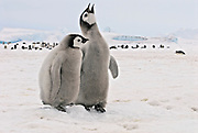 Two emperor penguin chicks stand together as one chick brays calling out.