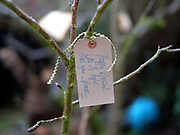 Good wishes label hanging on an apple tree at an orchard-visiting wassail in Kilham village, Yorkshire Wolds, UK on 21st January 2017. Wassail is a traditional Pagan winter celebration in cider-producing regions of England, reciting incantations and singing to the trees to promote a good harvest for the coming year. Pieces of toast soaked in cider are hung in the branches to attract robins to the tree as these are said to be the good spirits of the orchard. To ward off evil spirits, villagers scare them away by banging pots and pans and making as much noise as possible