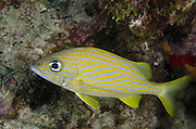 French Grunt (Haemulon flavolineatum)<br /> BONAIRE, Netherlands Antilles, Caribbean<br /> HABITAT & DISTRIBUTION: Coral reefs in schools. Florida Keys, Bahamas, Caribbean, Gulf of Mexico & Bermuda