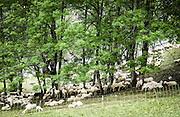 a herd of sheep on the shores of Fedaia lake in Trentino, Italy