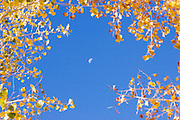 Close-up of yellow cottonwood leaves, half moon, and blue sky<br />