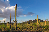 Saguaro National Park West vista