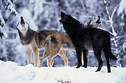 Grey wolves (Canis lupus) photographed in Washington State. Captive.
