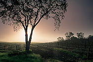 Tree at sunrise next to vineyard along Union Road, Paso Robles San Luis Obispo County, California