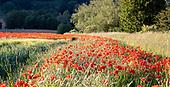 Poppies Hassop & Bubnell, Derbyshire
