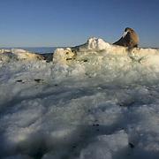 Walrus, (Odobenus rosmarus) Male resting on iceberg off Baffin Island. Canada.