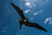 Great Frigatebird (Fregata minor) - male flying.<br /> GALAPAGOS ISLANDS  ECUADOR South America<br /> Breed on Genovesa (Tower), Seymour and San Cristobal Islands in the Galapagos.<br /> RANGE: They breed in the w, e and central Pacific and Revillagigedo, Cocos and Galapagos Islands. Also on Trindade Island, Martin Vaz Island and range to Brazil. In the w Indian Ocean on Aldabra and adjacent islands as well as Christmas Island. In the S. China Sea on Paracel Island.<br /> This is one of 2 species found in Galapagos. They have the largest wingspan-to-bodyweight ratio of any bird making them highly manoeuvrable and acrobatic. These seabirds range long distances to feed, scooping fish off the surface as they can not land at sea.
