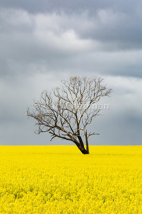 Tree without leaves in middle of a field of canola against storm clouds near Boree Creek, New South Wales, Australia <br /> <br /> Editions:- Open Edition Print / Stock Image