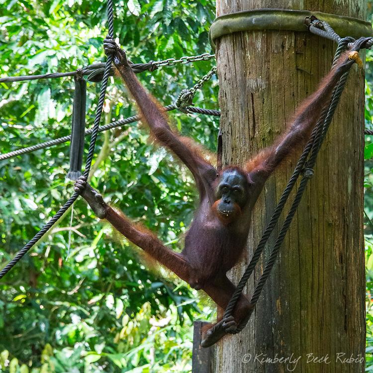 Wild Bornean Orangutan (pongo pygmaeus) swinging above a food platform after eating at the Sepilok Orang Utan Sanctuary in Sandakan, Sabah, on Borneo, Malaysia.