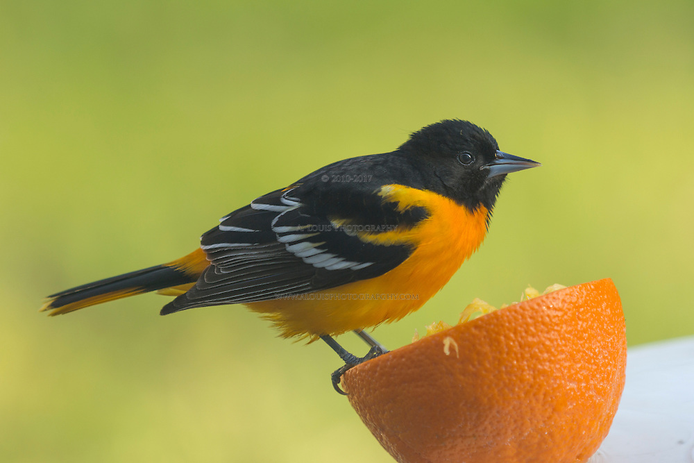 Baltimore Oriole and an Orange