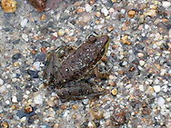 A frog exhibits its camouflage on the shore of Lake Winnipesaukee, in New Hampshire.