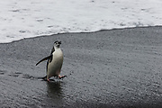 Chinstrap Penguin (Pygoscelis antarctica) on a black volcanic beach before a group of tourists, Saunders island, South Sandwich islands, Antarctica