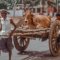 Villagers use a cart to take home a cow they bought at a market in Dhaka, Bangladesh in 1977.
