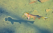 Rising Yellowstone Cutthroat Trout<br /> <br /> Patrick Clayton/Engbretson Underwater Photography