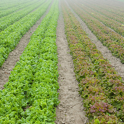 A field of organic lettuce grows at Harlow Farm in Westminster, Vermont.