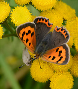 Close-up of a Small copper butterfly (Lycaena phlaeas) with open wings feeding on tansy flowers in a Norfolk open woodland habitat in summer