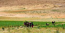 Women working in fields in southern Morocco<br /> <br /> (c) Andrew Wilson   Edinburgh Elite media