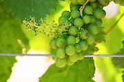 Unripe grapes. Mas Montel, Sommieres, Languedoc, France