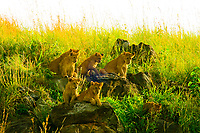 A pride of lions on a hillside, Masai Mara National Reserve, Kenya