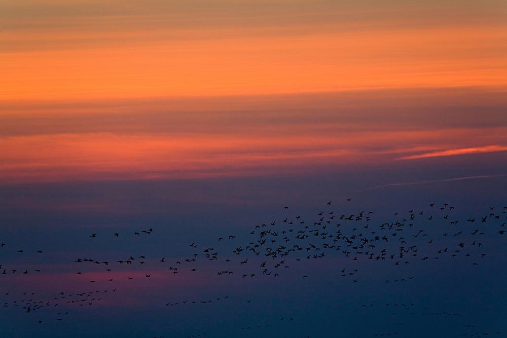 23.04.2009<br /> Brent Goose (Branta bernicla) örvös lúd<br /> Hallig Hooge, Germany