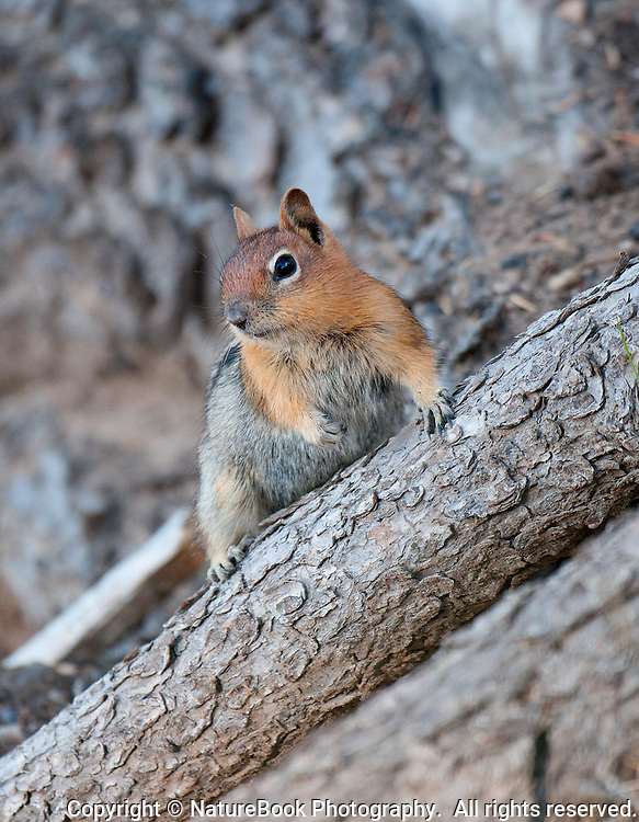 A chipmunk on the slopes leading down to Crater Lake navigates the uneven terrain.