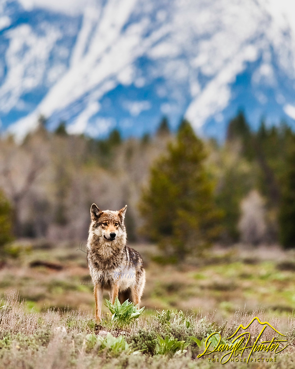 Grey Pacific Creek Wolf posing in front of the Grand Teton Range in Grand Teton National Park<br />
