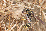 Heath potter wasp (Eumenes coarctatus) stocking nest pot with caterpillar prey. Dorset, UK.