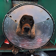 ©London News pictures. 10/03/11. Mcdonagh aged 8 and a half wears a protective hood at his last ever Crufts.  Exhibitiors and their dogs at Crufts 2011 held at The National Exhibition Centre in Birmingham today (Thurs). The show runs from 10 - 13 March 2011 Picture Credit should read Stephen Simpson/LNP