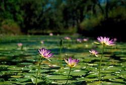 Native waterliliies (Nymphaea sp.) grow in a freshwater pool in the Kimberley, Western Australia.