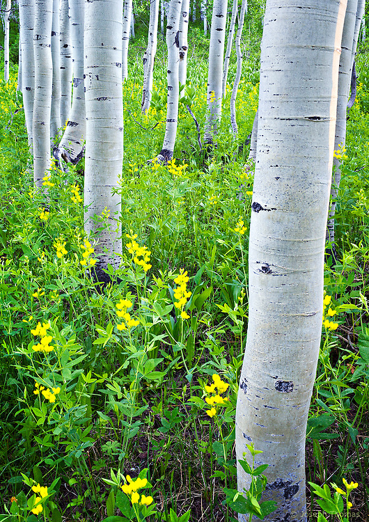 An aspen grove rises from a sea of wildflowers near Crested Butte.