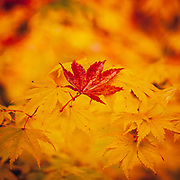 Contrasting colours in autumn from a red acer leaf fallen on a branch of bright yellow