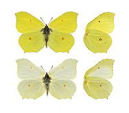 Brimstone - Gonepteryx rhamni. Male (top) - female (bottom). Wingspan 60mm. A colourful butterfly and a harbinger of spring. Adult has distinctive wings: rounded overall with pointed tips; those on the forewings are hooked. Male is brimstone-yellow; female is much paler and could be mistaken for a Large White in flight. Single-brooded: adults hatch in August, then hibernate and emerge on sunny spring days. Larva is green with pale lateral line; feeds on Buckthorn and Alder Buckthorn. Locally common in England and Wales.