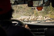 A car drives behind a herd of sheep and goats blocking on a dirt road in the Cordillera de Paucartambo, Andes Mountains, Peru.