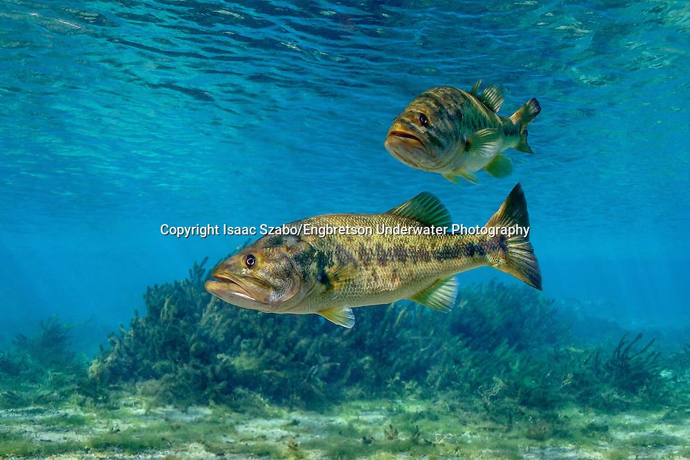 Largemouth Bass<br /> <br /> Issac Szabo/Engbretson Underwater Photography