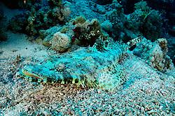 Papilloculiceps longiceps, Teppich Krokodilfisch, Tentacled flathead, Crocodilefish, Ras Mohammed, Rotes Meer, Ägypten, Red Sea Egypt