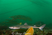 spiny dogfish or piked dogfish or dog shark or spurdog,  Squalus acanthias, and orange sea pen, Ptilosarcus gurneyi, and bull kelp, Macrocystis integrifolia, Quadra Island off Vancouver Island, British Columbia Canada ( Discovery Passage )