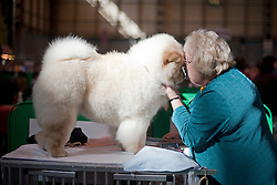© London News Pictures. 08/03/2012.  Mary Robbins preparing KiKI  the Chow Chowon Day one of Crufts at the Birmingham NEC Arena on March 8, 2012 in Birmingham.  Crufts, which is the largest annual dog show in the world, hosts over 20,000 dogs and owners who compete in a variety of categories. Photo credit : Ben Cawthra/LNP